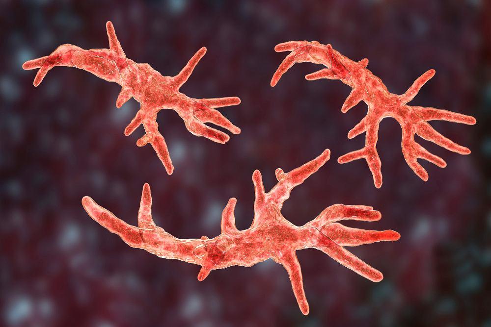 Balamuthia mandrillaris to ameba, która wywołuje poważną i, zwykle, śmiertelną w skutkach chorobę mózgu