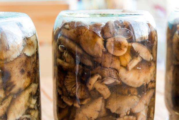 Koguty z dużymi główkami grzybowymi