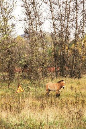 Jeden z kilkunastu koni Przewalskiego, które żyją w strefie. Są dzikie i bardzo niebezpieczne. Fot. Juliusz Szalek