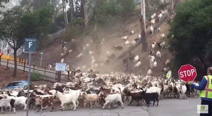 Stada kóz na wzgórzach Kalifornii
