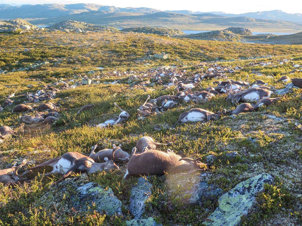 Ponad 300 reniferów zginęło od pioruna