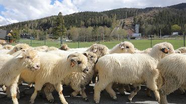 TPN dopiero od poniedziałku 4 maja otwiera wszystkie szlaki turystyczne. Do tego czasu dostępne są tylko cztery dolinki w rejonie Zakopanego: Białego, Strążyska, Za Bramką i Ku Dziurze. Z tego powodu w czasie majówki w Zakopanem nie ma tłumów. Owszem, na Krupówkach spotkać można turystów, podobnie w czterech otwartych dolinkach. Na Gubałówce jednak pustki.