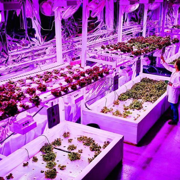 Organiczna sałata do wzrostu wymaga światła LED. Najlepiej różowego.