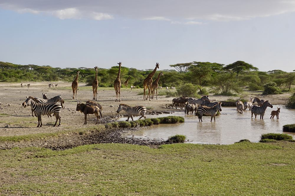 Zwierzęta w Parku Narodowym Serengeti w Tanzanii