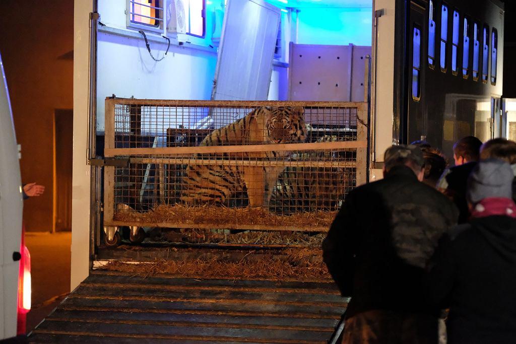 Как зоопарк Познани спасает тигров, застрявших на границе с Беларусью