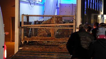 Tygrysy po przyjeździe do Poznania