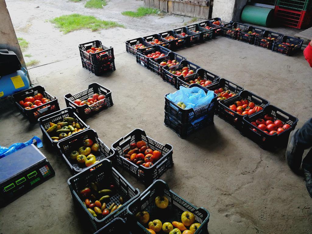 Przygotowania do zakontraktowanych dostaw pomidorów.
