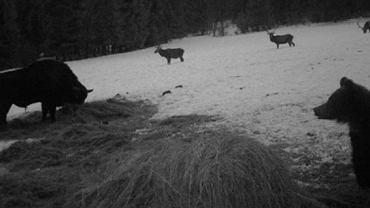Niedźwiedź, żubr i trzy jelenie na polanie