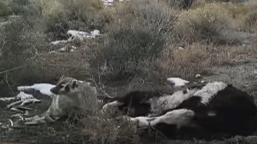 Borsuk sam zakopał całą krowę
