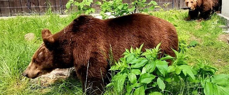 """Warszawskie niedźwiedzice już na nowym wybiegu. """"Nie było to łatwe przedsięwzięcie"""". Ruszyła zbiórka"""