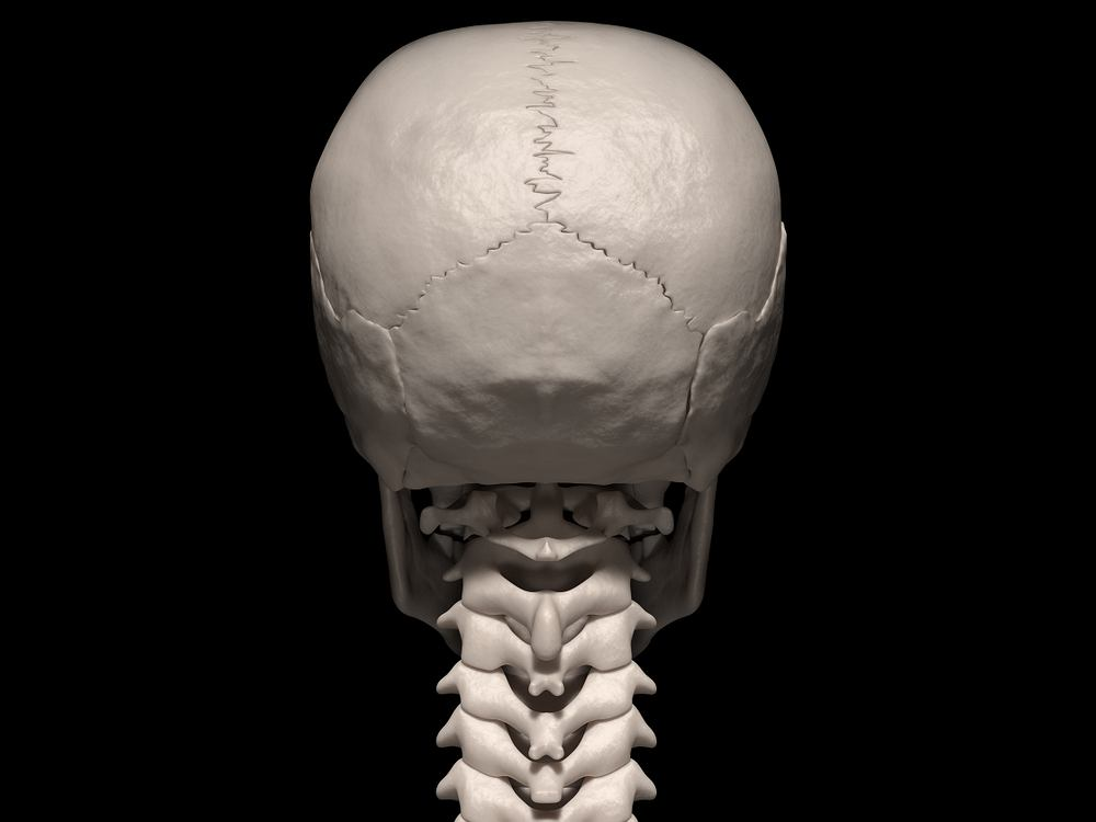Potylica to tylna część czaszki człowieka, która osłania mózg w dolnej oraz tylnej części.