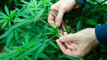 Państwo polskie oficjalnie przyznało, iż wie, że można leczyć marihuaną. Jednak ponad rok po przegłosowaniu ustawy legalizacja jest bytem wyłącznie teoretycznym