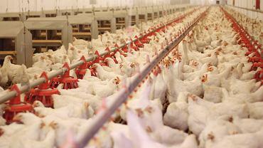 Produkcja drobiu w Polsce jest dobrze nadzorowana. Pod kontrolą są wytwórnie pasz, kurniki, badane jest mięso. Drób eksportowany badany jest też w kraju, który mięso od nas odbiera.