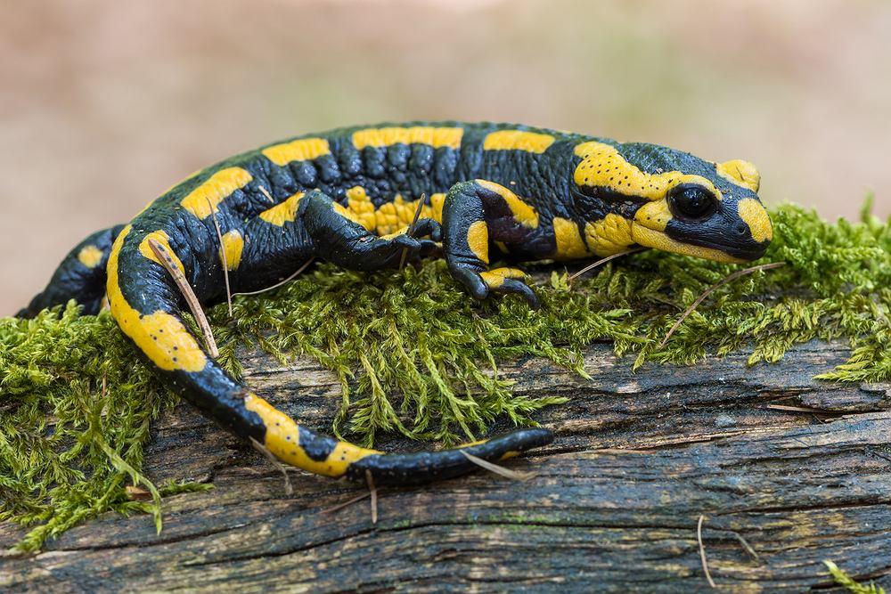 Salamandra potrafi odbudować swoje kończyny i ogon