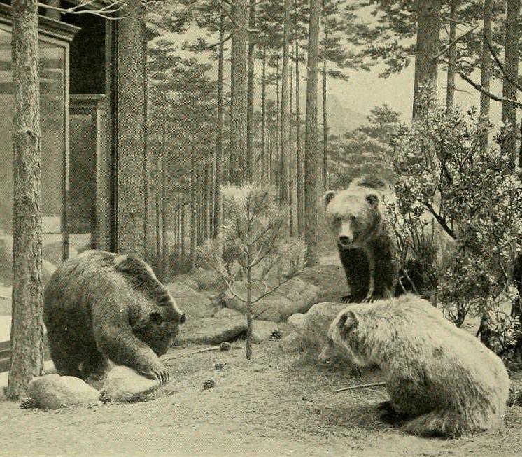 Meksykańskie grizzly