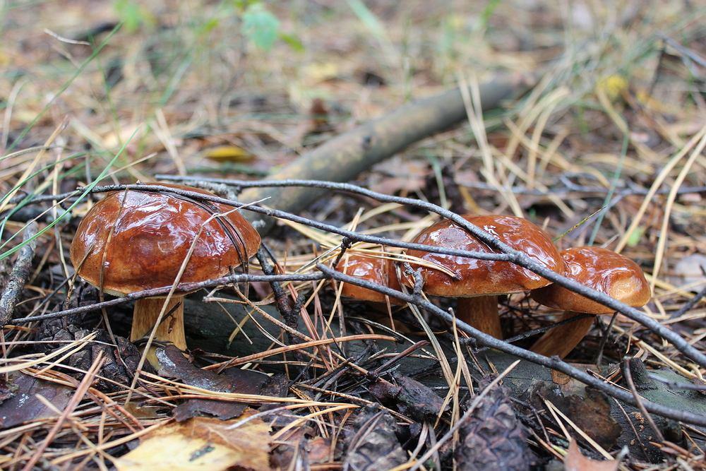 Najczęściej spotykanym rodzajem maślaka jest maślak zwyczajny, jednak w lasach występują również inne rodzaje tego grzyba