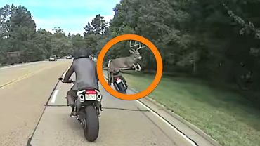 Jeleń wpada na motocyklistę