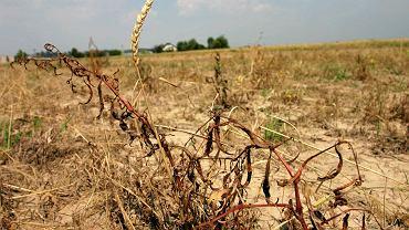 Susza na polach uprawnych. Zdjęcie ilustracyjne.