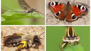 Zagrożone owady. Na górze: jętka i rusałka pawik. Na dole: pszczolinka napiaskowa i pióronóg zwykły