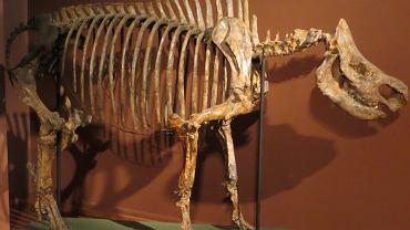 Stephanorhinus kirchbergensis - szkielet z Muzeum Historii Naturalnej w Bazylei