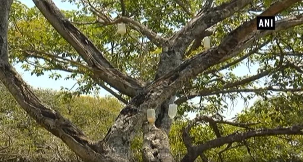 700-letnie drzewo umierało, więc podłączyli je do kroplówki