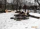 Wycinka drzew postępuje. Topór ministra Szyszki tnie w Warszawie