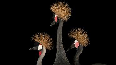 Koronnik szary (Balearica regulorum) - gatunek zagrożony, w towarzystwie dwóch koronników czarnych ( Balearica pavonina ), które IUCN uznaje za narażone na wyginięcie. Oba gatunki należące do rodziny żurawi żyją w Afryce