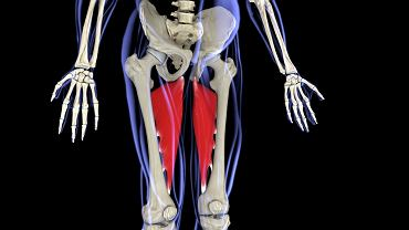 Przywodziciele to mięśnie, które znajdują się w środkowej części uda. Biegną one od kości udowej do miednicy.