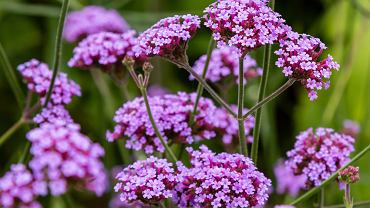 Werbena - ozdobna roślina, która leczy. Zdjęcie ilustracyjne