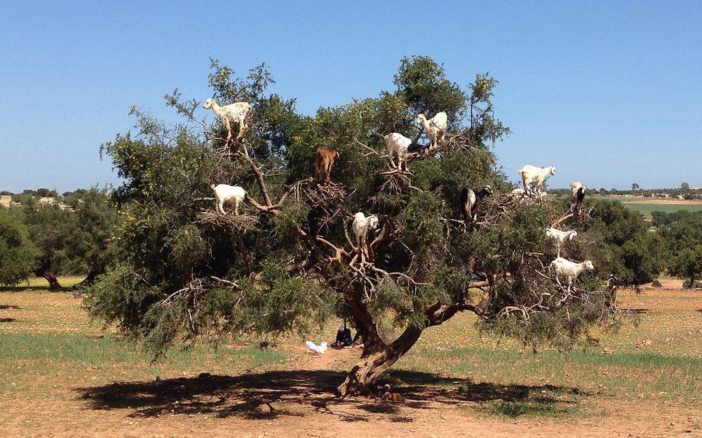 Kozy na drzewie arganowym w Maroko