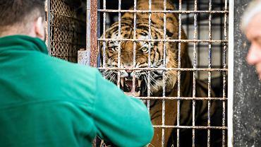 Tygrysy w Kukurykach, nieopodal Terespola