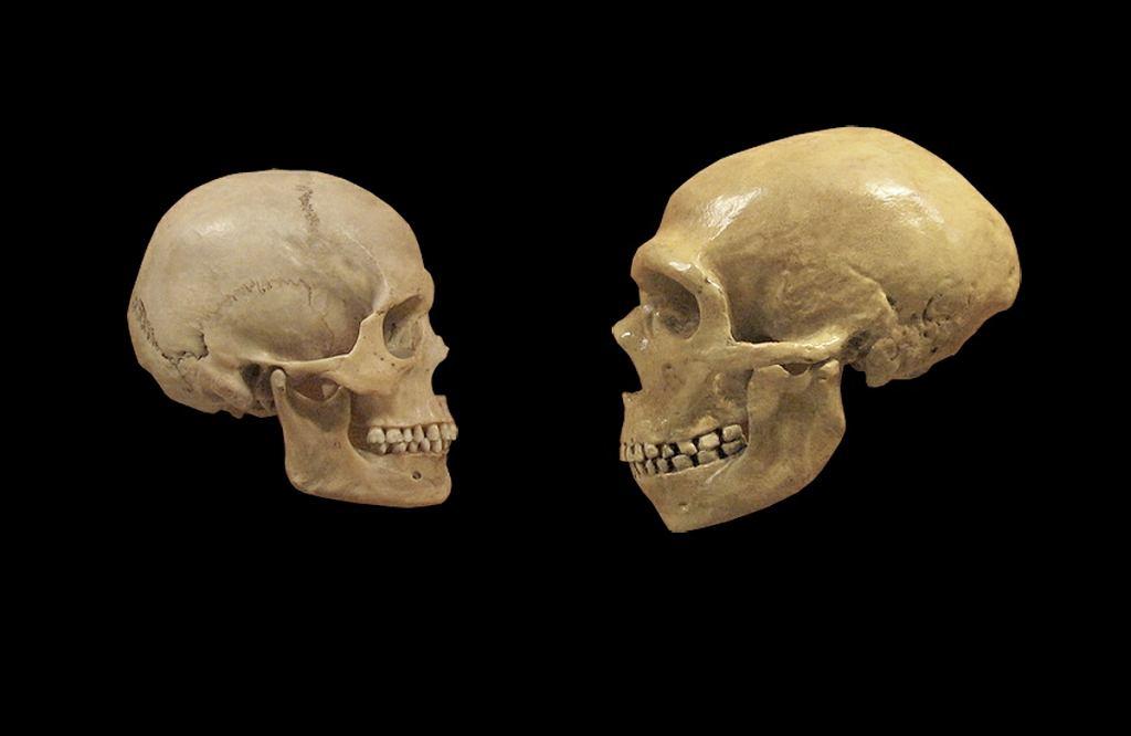 Porownanie wielkości czaszek ludzkiej i neandertalczyka
