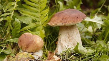 Borowik szlachetny jest jednym z grzybów najbogatszych w składniki odżywcze