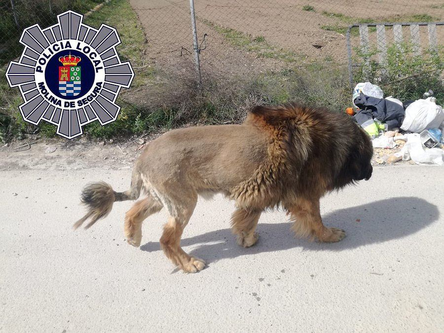 Pies ostrzyżony tak, że przypomina lwa, przestraszył mieszkańców hiszpańskiej miejscowości.