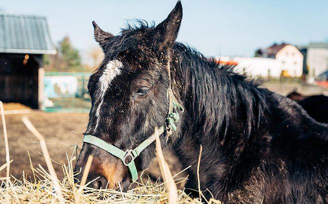 Drumla, jeden z koni uratowanych przez Klub Gaja