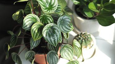 Peperomia to świetna i prosta w uprawie roślina do domu
