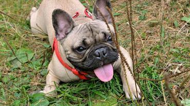 Dla psów upały są bardziej niebezpieczne niż mrozy