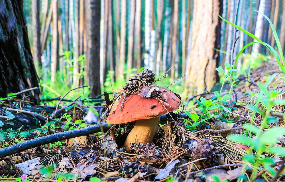 W Polsce występuje ponad 1000 gatunków jadalnych grzybów, a tradycja wybierania się na grzybobranie jest bardzo długa i dobrze ugruntowana,