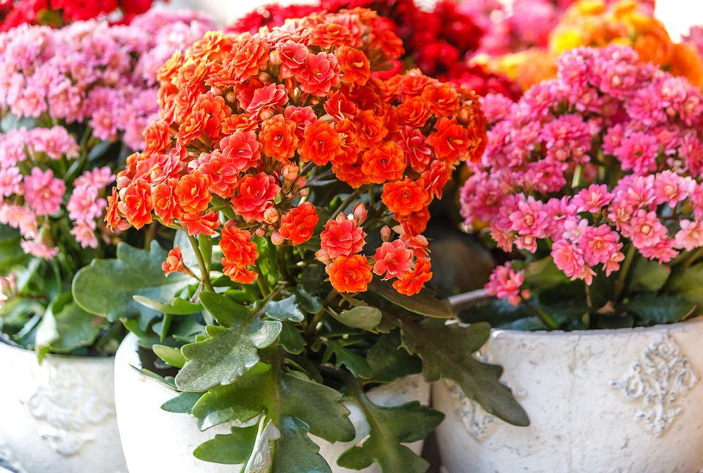 Kalanchoe - piękna roślina doniczkowa. Uprawa i pielęgnacja. Zdjęcie ilustracyjne