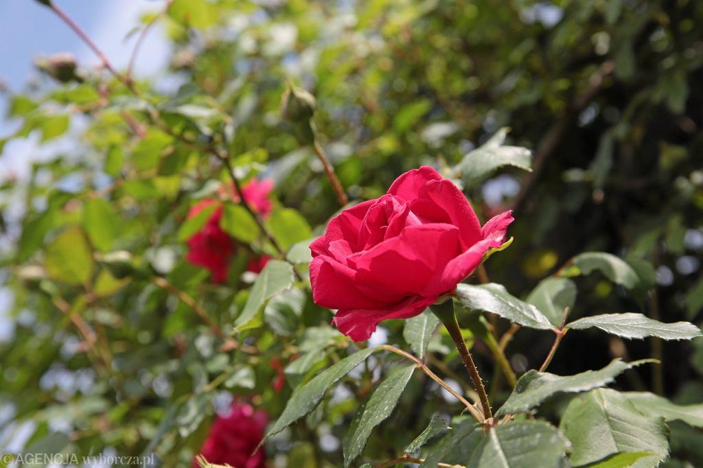 Rozarium w Ogrodzie Botanicznym Geonatura Kielce. Róża '' Paul's Scarlet Climber '' z grupy róże pnące