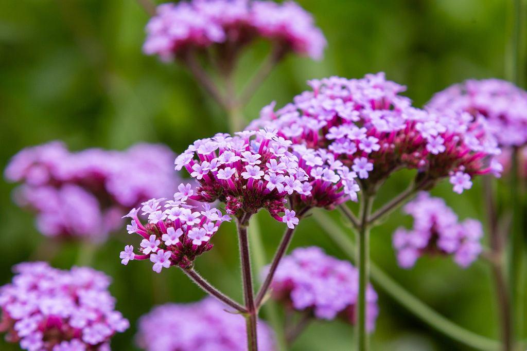 ZVerbena,Bonariensis,Flowers,(argentinian,Vervain,Or,Purpletop,Vervain,,Clustertop,Vervain,
