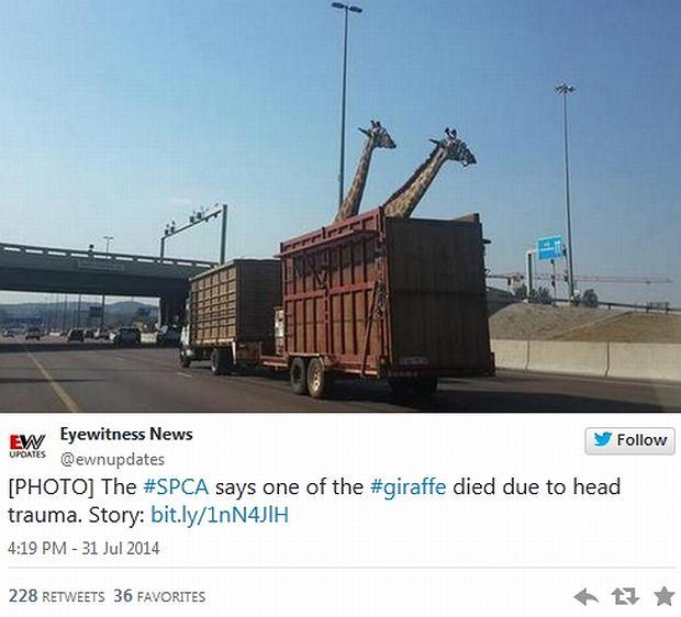 Żyrafa uderzyła głową w wiadukt?