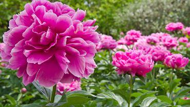 Piwonia to bardzo popularna roślina. Zdjęcie ilustracyjne