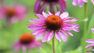 Jeżówka purpurowa - roślina ozdobna czy lecznicza? Właściwości, zastosowanie, uprawa. Zdjęcie ilustracyjne