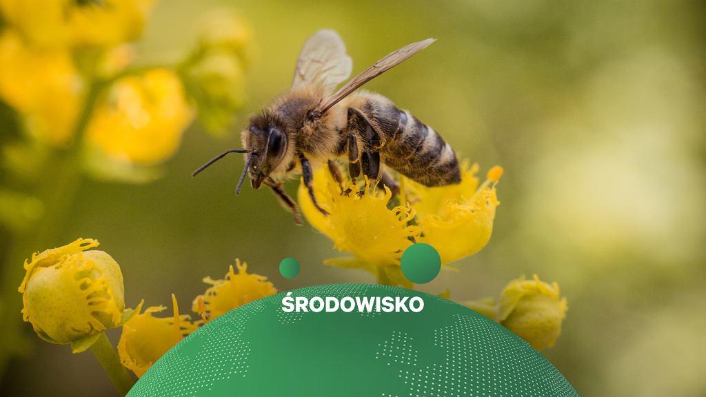 Pszczoła (zdjęcie ilustracyjne)