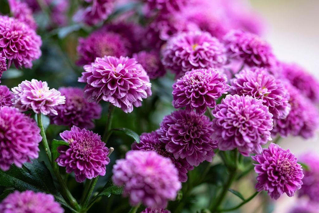 kwiaty jesienne na balkon - astry
