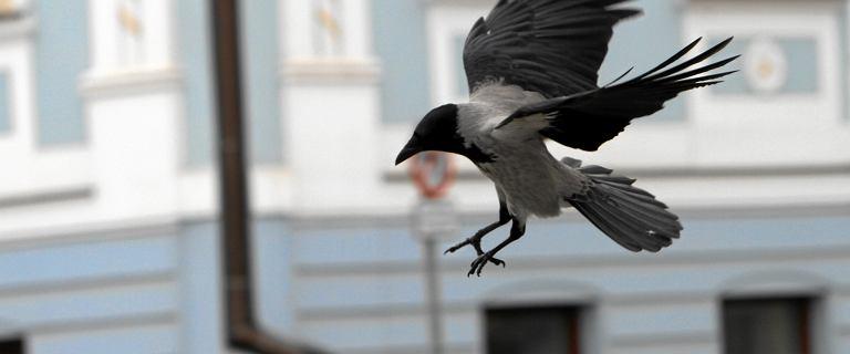 Mieszkańcy skarżą się na ataki wron w Warszawie.