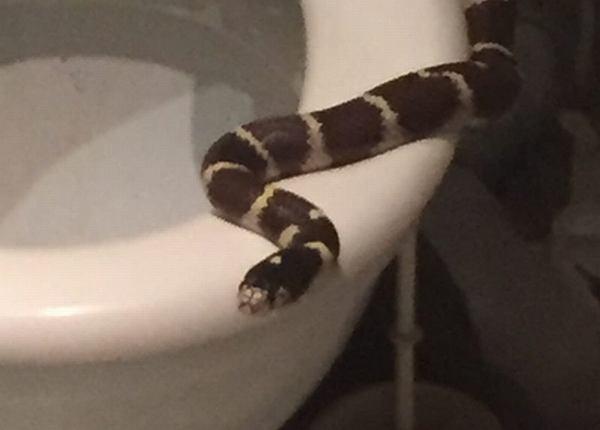 Oława. Kobieta znalazła węża w muszli klozetowej