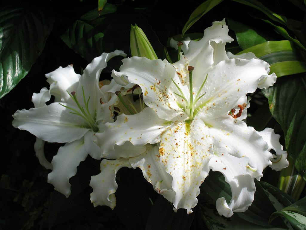 Lilie azjatyckie