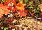 Łysiczka lancetowana - grzyb o właściwościach psychoaktywnych. Jak wygląda i jakie mogą być skutki jej spożycia?